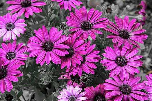 Purple Daisies by Greg Thiemeyer
