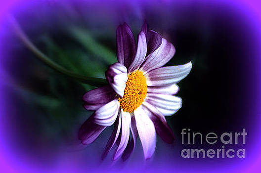 Purple Daisy Flower by Susanne Van Hulst