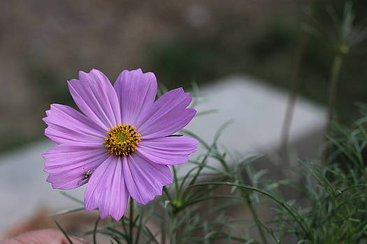 Purple Cosmos by Khalid Saeed