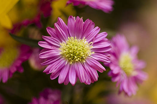 Purple Daisy by Marjohn Riney