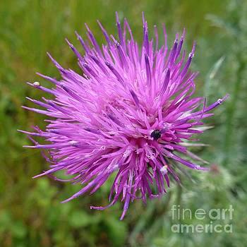 Purple Dandelions 2 by Jean Bernard Roussilhe
