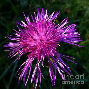 Purple Dandelions 4 by Jean Bernard Roussilhe