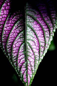 Purple by David Weeks