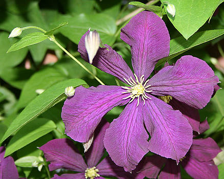 Purple Delite by Marc Champagne