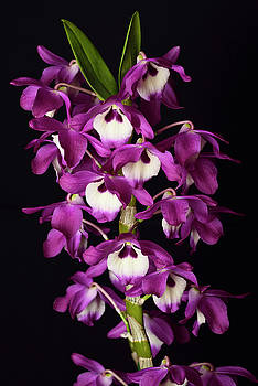 Reimar Gaertner - Purple Dendrobium Super Ise White Center hybrid orchid flower cu