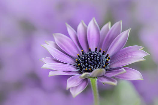 Purple Dream by Silke Tuexen