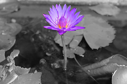 Samantha Delory - Purple Enlightened Lotus