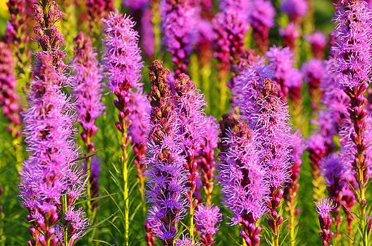 Purple Fields 2 by Peter  McIntosh