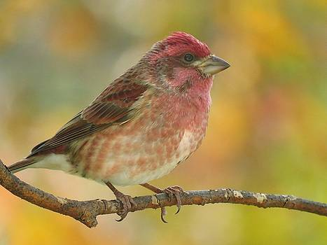 Purple Finch in Autumn by Lori Frisch
