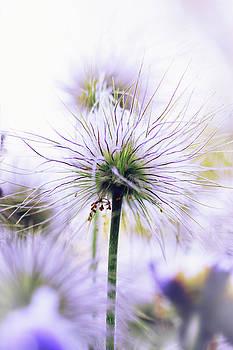 purple flower by Iuliia Malivanchuk by Iuliia Malivanchuk