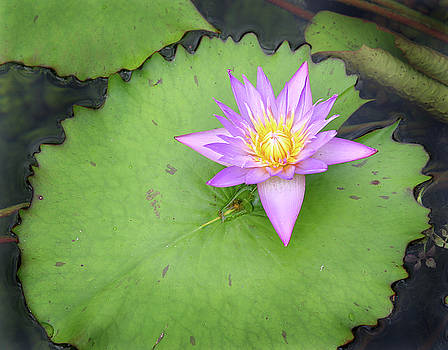 Purple flower on lily pad by Jeremy Lewis