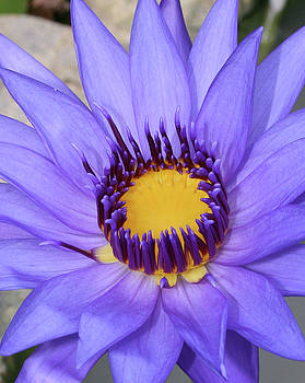 Purple Flower by Shana Sanborn