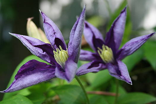 Purple Flowers 2 by Elizabeth Thornhill