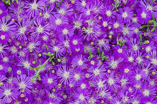 Frank Tschakert - Purple Flowers