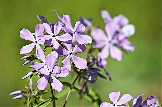 Purple Flowers by Monica Whaley