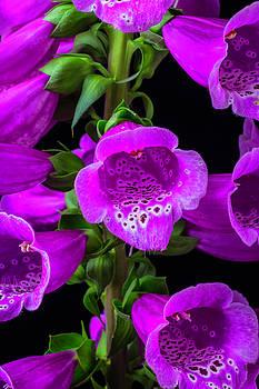 Purple Foxglove by Garry Gay