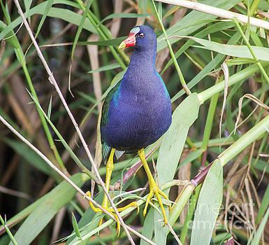 Purple Gallinule by Robert Frederick