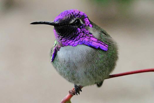 Purple Headed Hummer by Shoal Hollingsworth