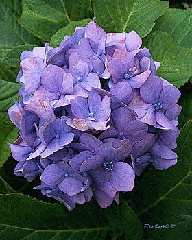 Purple Hydrangea by Ed A Gage