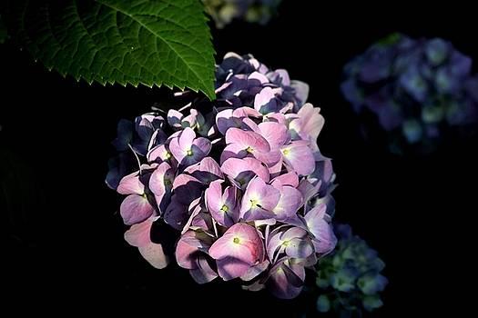 Purple Hydrangea in Morning Light by Sheila Brown