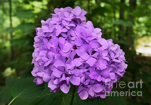 Purple Hydrangea by Lynn Jackson