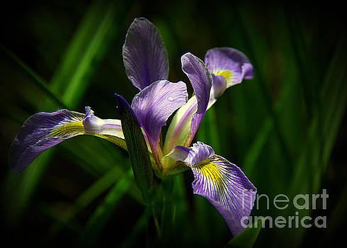 Purple Iris by Lisa L Silva