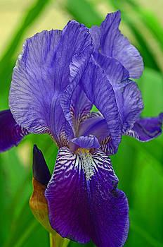 Lisa Phillips - Purple Iris