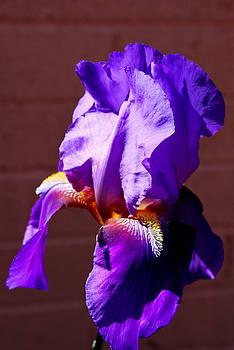 Purple Iris by M Diane Bonaparte