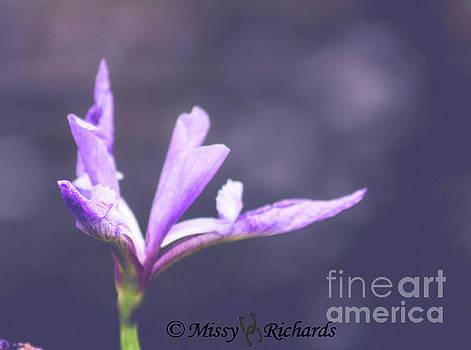 Purple Iris by Missy Richards