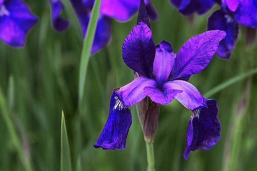 Purple Iris on Green by Donna Betancourt