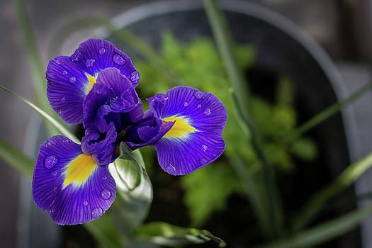 Purple Iris by Randy Bayne