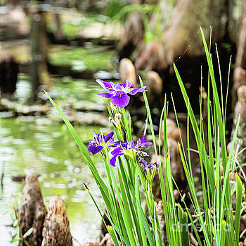 Scott Pellegrin - Purple Iris