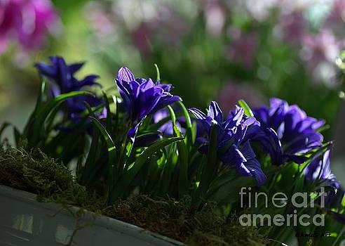 Purple irises by AmaS Art
