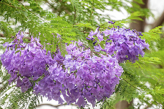Purple Jacaranda flowers close-up  by Daniela Constantinescu