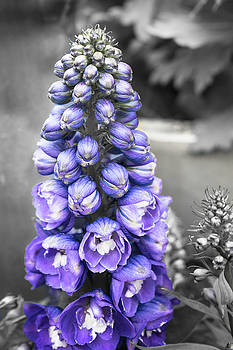 Purple Larkspur by Crystal Hoeveler