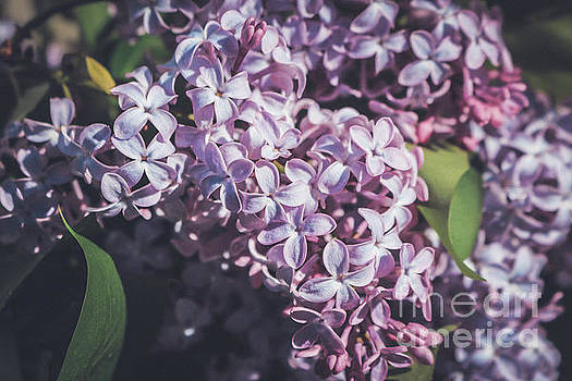 Purple lilac by Claudia M Photography