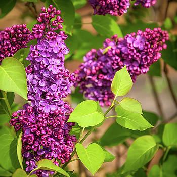 Purple Lilac by Daniela Constantinescu
