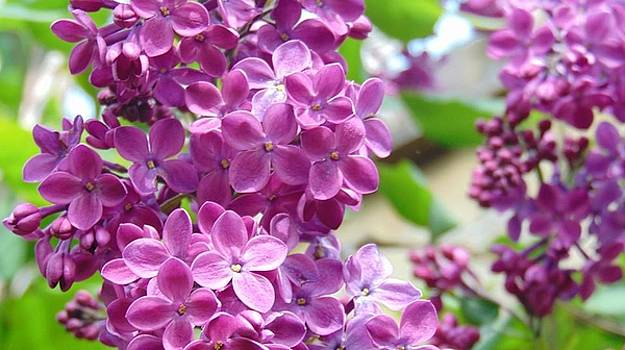 Purple Lilacs by Charlotte Gray