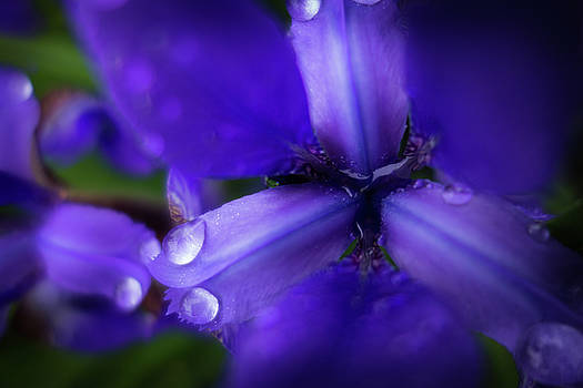 Purple Lilly by Steve Konya II