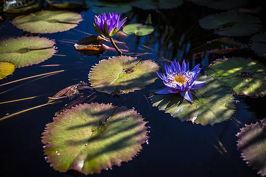 Purple Lily by Jason Roberts