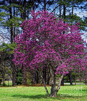 Purple Lily Magnolia by Paul Mashburn