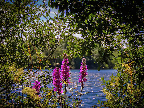 Purple Loosestrife in the Irish countryside by James Truett