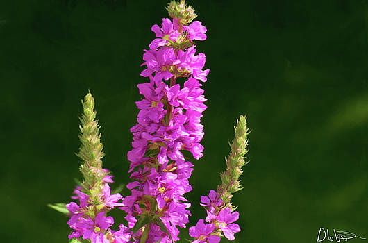 Purple Loosestrife Painting by Garvin Hunter