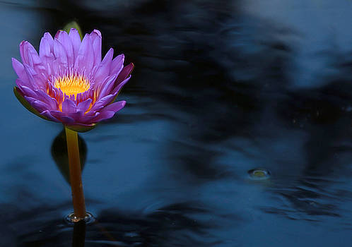 Purple Lotus by Sharon Batdorf