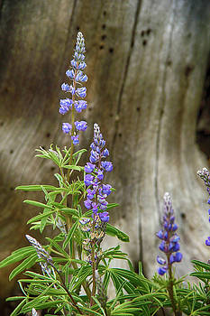 Purple Lupine by Marie Leslie