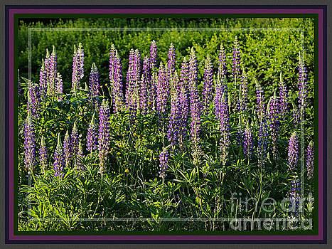 Sandra Huston - Purple Lupines in Summer, Framed