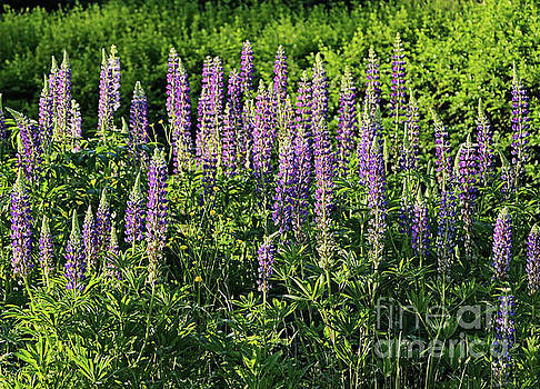 Sandra Huston - Purple Lupines in Summer