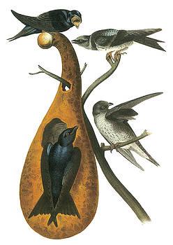 John James Audubon - Purple Martin