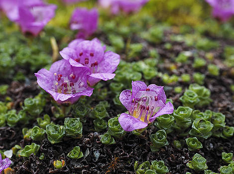 Ian Johnson - Purple Mountain Saxifrage