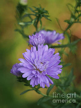 Purple Mums On An Autumn Day by Dorothy Lee